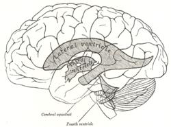 Système ventriculaire : anatomie et emplacement dans le cerveau.