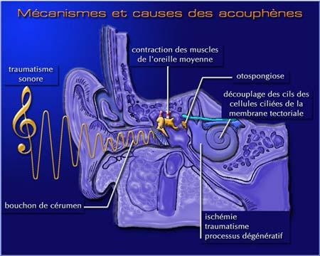 Coupe transversale de l'oreille