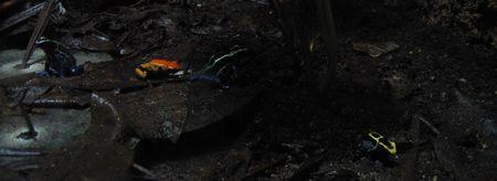 Quatre grenouilles aux couleurs très vives