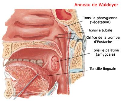 Les différentes parties de l'anneau de Waldeyer