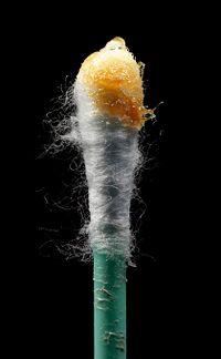 Cérumen au bout d'un coton-tige