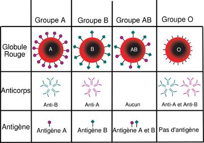 Groupes sanguins A, B, AB, O avec les anticorps et les antigènes associés
