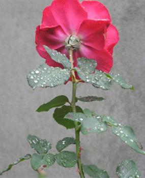 Perles d'eau sur les feuilles d'une rose photographiée de dos