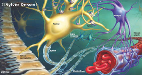Schéma des neurones et des différentes types de cellules gliales