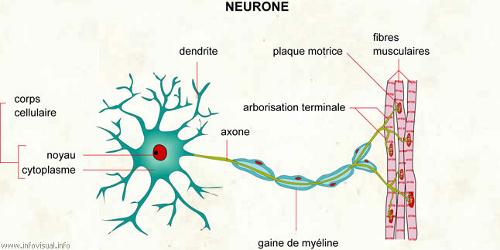 Schéma d'un neurone