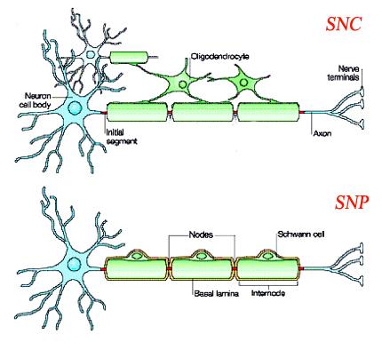 Oligodentrocytes du SNC et cellules de Schwann du SNP