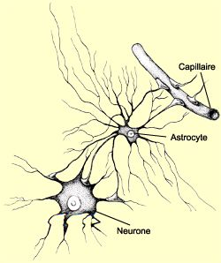 Schéma d'un astrocyte reliant un neurone et un capillaire sanguin