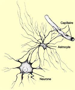 Schéma d'un astrocyte reliant un neurone et un capillaire sanguin