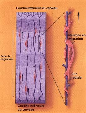 Migration des neurones de la couche intérieure à la couche extérieure du cerveau