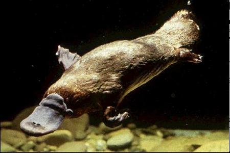 Ornithorynque évoluant dans l'eau