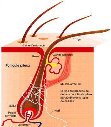 Anatomie follicule pileux
