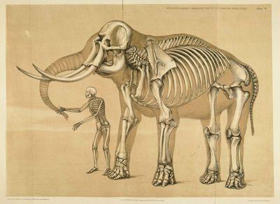 Comparaison squelette homme et squelette éléphant