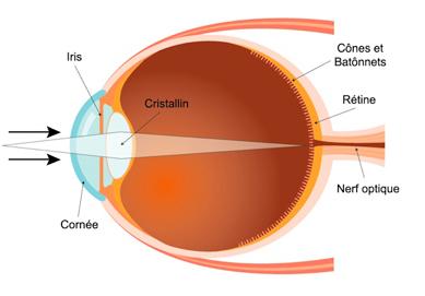 Structure de l'œil humain