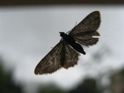 Papillon de nuit sur une vitre