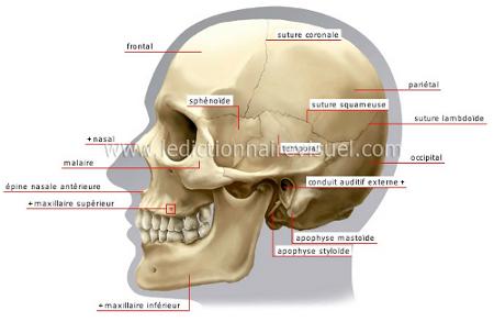 Crâne d'adulte