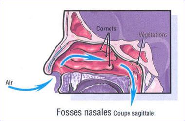 Circulation de l'air dans les cornets nasaux