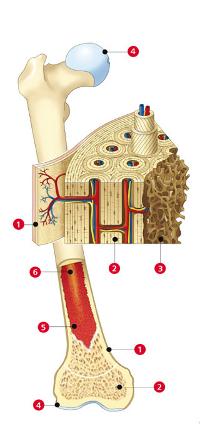 Structure interne d'un os long