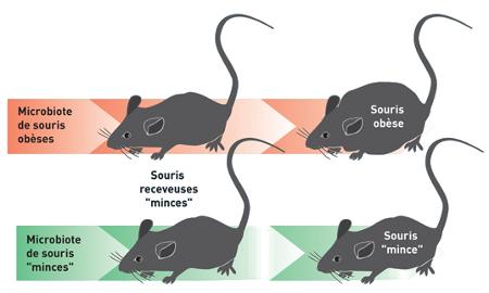 Souris minces recevant le microbiote de souris obèses ou de souris minces