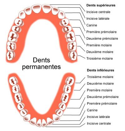 Position des dents supérieures et inférieures