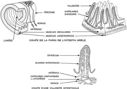 Coupes de la paroi de l'intestin grêle et d'une villosité intestinale