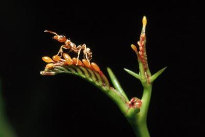 Une fourmi perchée sur un acacia