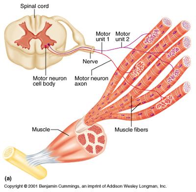 Nerfs de la moelle épinière innervant des fibres musculaires