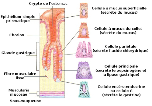 Structure de la surface de l'estomac