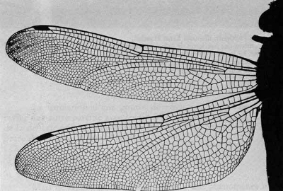 Nervures des ailes d'un insecte