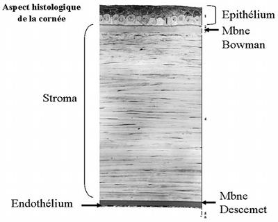 Aspect histologique de la cornée