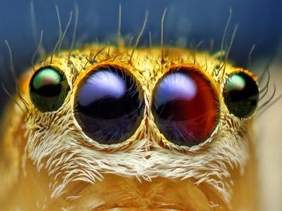 Yeux d'une araignée sauteuse