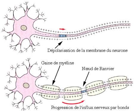Dépolarisation de la membrane neuronale et conduction saltatoire