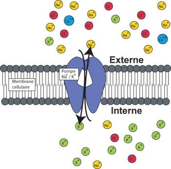 Pompe sodium potassium insérée dans une membrane cellulaire