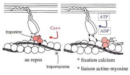 Coulissement de deux filaments d'actine et de myosine entraînant la contraction du muscle.