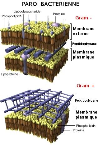 Comparaison paroi bactérienne de Gram - et Gram +