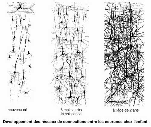 Développement des réseaux de connections entre les neurones chez le nouveau-né, trois mois après la naissance et à l'âge de deux ans