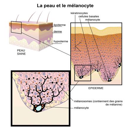 La peau et le mélanocyte