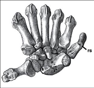 Os de la main d'un panda géant