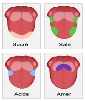 Cartographie gustative sur la langue