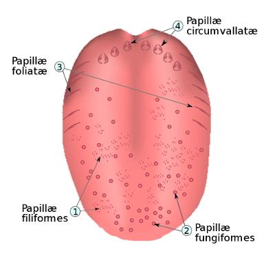 Localisation des papilles de la langue