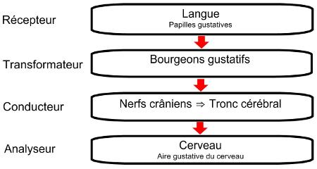 Chemin de l'influx nerveux de la langue au cerveau