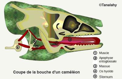 Coupe de la bouche d'un caméléon