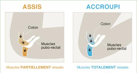 Schéma des muscles pubo-rectal