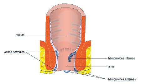 Schéma du rectum en coupe