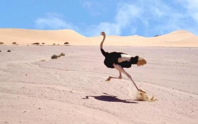 Sirtin l autruche un animal taill pour la course - Poids d une autruche ...