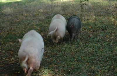 Sirtin quand a tourne en queue de cochon - Queue de cochon outil ...