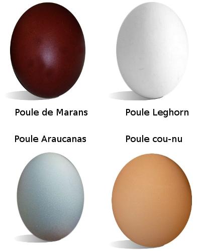 Couleurs des œufs de la Poule de Marans, de la Leghorn, de l'Aracaunas et des cou-nus